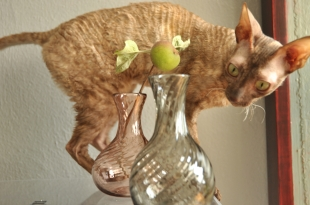 The cat demonstrates exquisite taste and loves Jason's glass! Small sample vases that double as mini servings wine jugs..